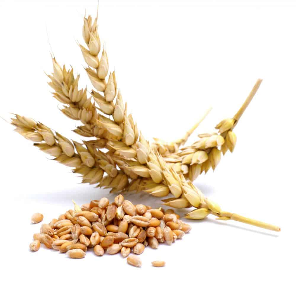 photo of gluten grains that trigger celiac